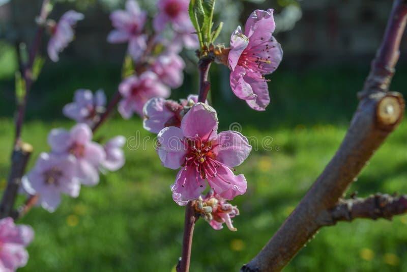 Härlig makro för blomning för blomma för persikaträd royaltyfri bild