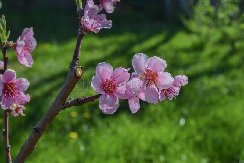 Härlig makro för blomning för blomma för persikaträd fotografering för bildbyråer