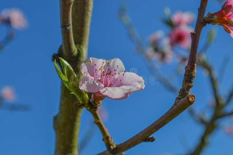 Härlig makro för blomning för blomma för persikaträd arkivbild