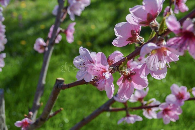 Härlig makro för persikablommablomning arkivfoton