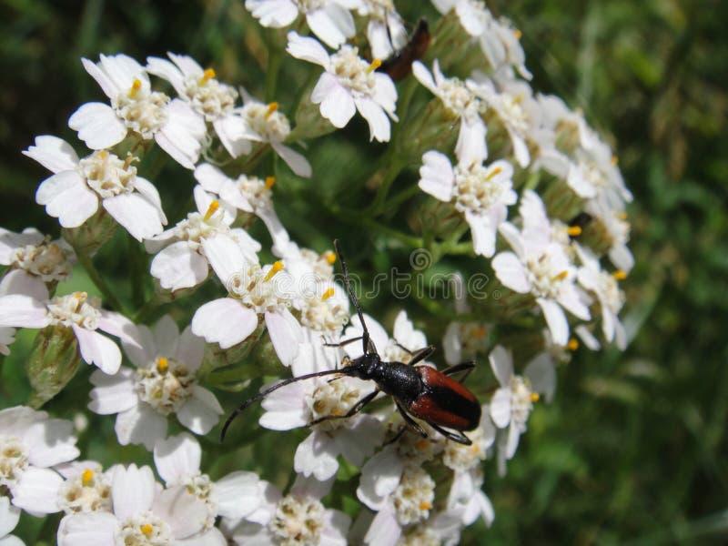 Härlig makro för vit blomma för blomning med skalbaggen arkivbild