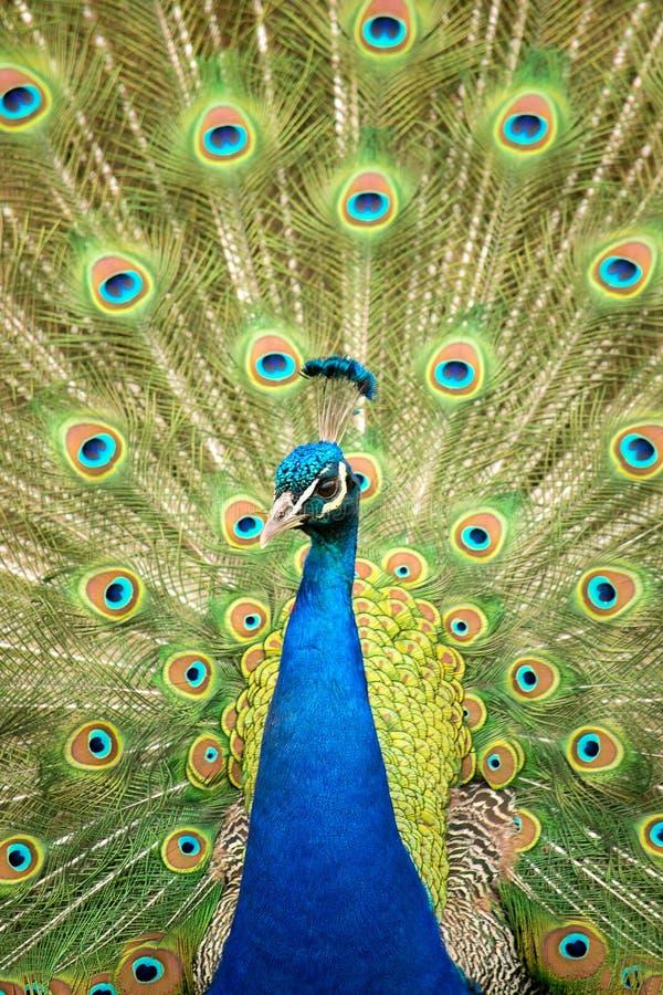 Härlig male påfågel arkivfoto