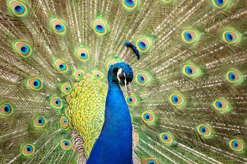 Härlig male påfågel royaltyfri bild