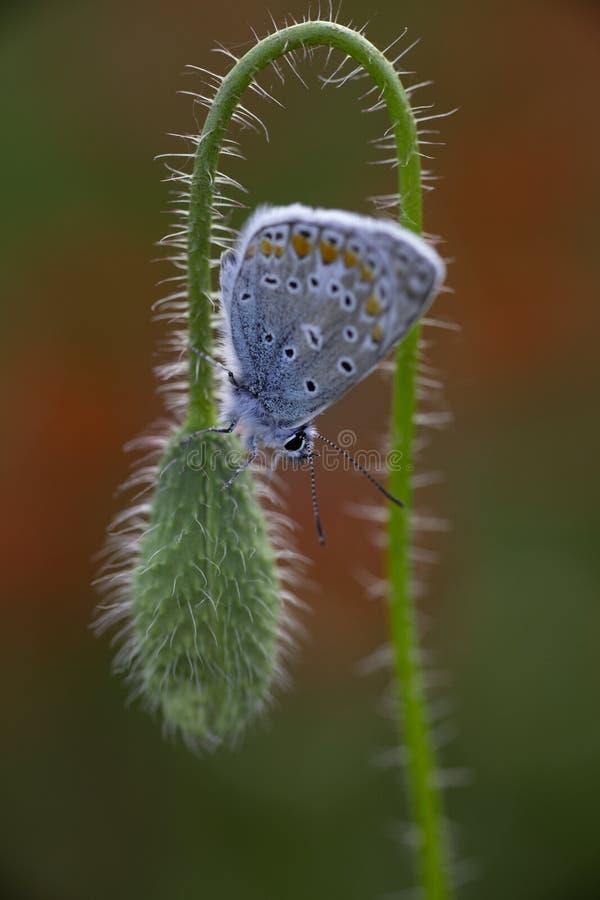 Härlig manlig gemensam blå fjäril Polyommatus icarus på en röd vallmoblommaknopp i fält av vallmo royaltyfri bild