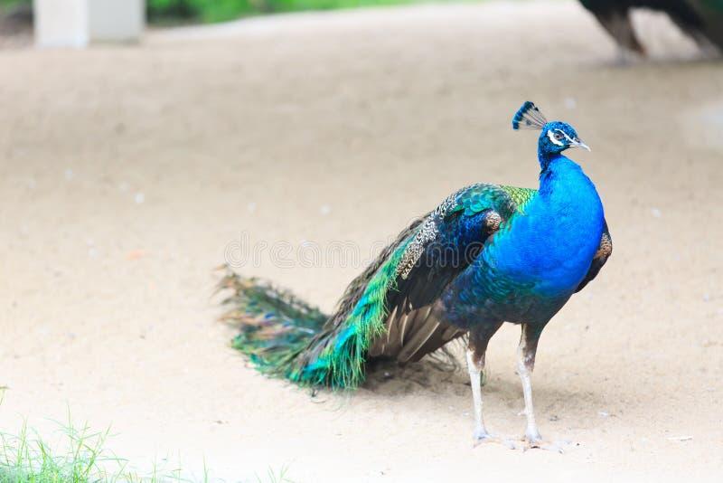 Härlig manlig indisk påfågel på vit bakgrund fotografering för bildbyråer