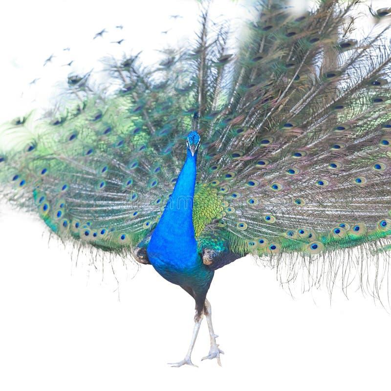 Härlig manlig indisk påfågel som visar svansfjädrar som isoleras på vit bakgrund, sidosikt royaltyfria bilder