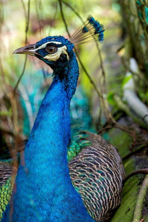 Härlig manlig påfågelstående med hans färgrika fjäder och vapen arkivfoto