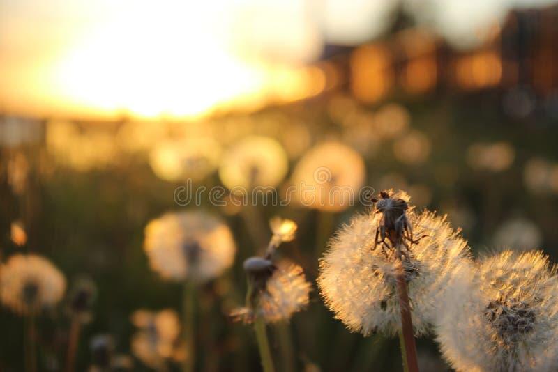 Härlig maskros på solnedgången i Sebiria arkivfoto