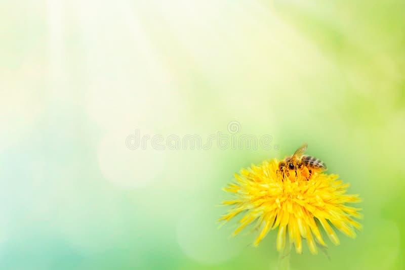 Härlig maskrosblomma på äng och att flyga för vår gul humlamakro på mjukt oskarpt ljus - grön bakgrund Varmt begrepp royaltyfri foto