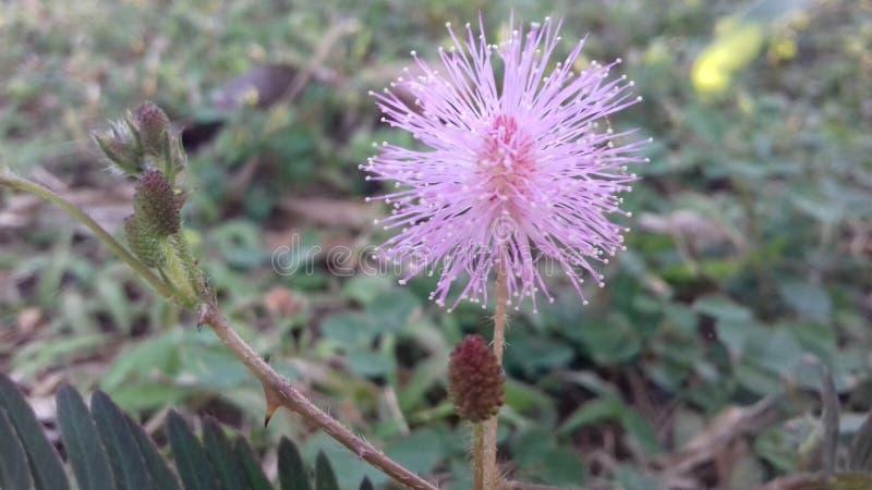 Härlig mimosanidikummbablomma av Sri Lanka royaltyfri fotografi