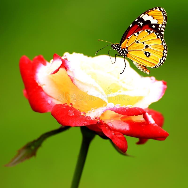 Härlig monarkfjäril på rosor royaltyfria foton