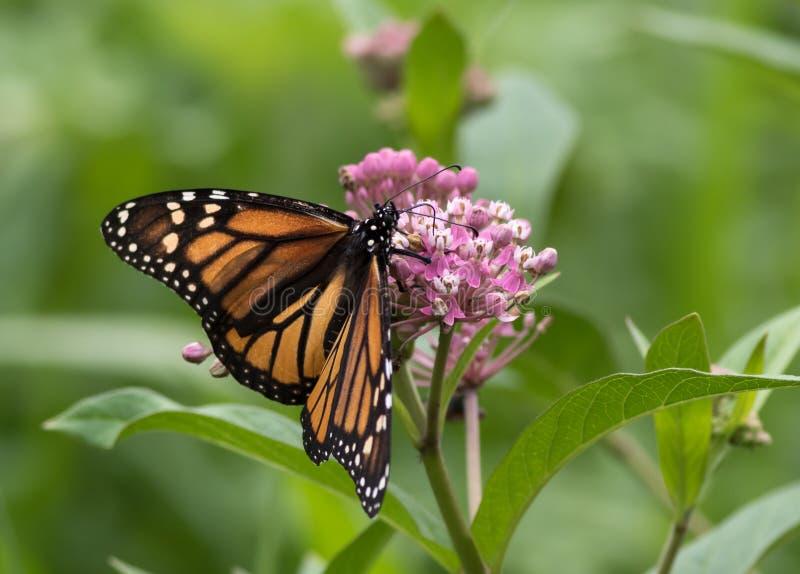 Härlig monarkfjäril som sätta sig på Milkweed royaltyfria foton