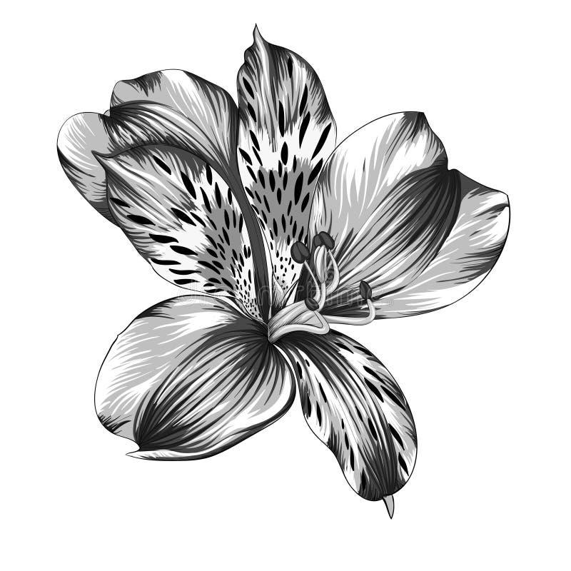 Härlig monokrom, svartvit isolerad Alstroemeriablomma med vattenfärgeffekt på bakgrund stock illustrationer