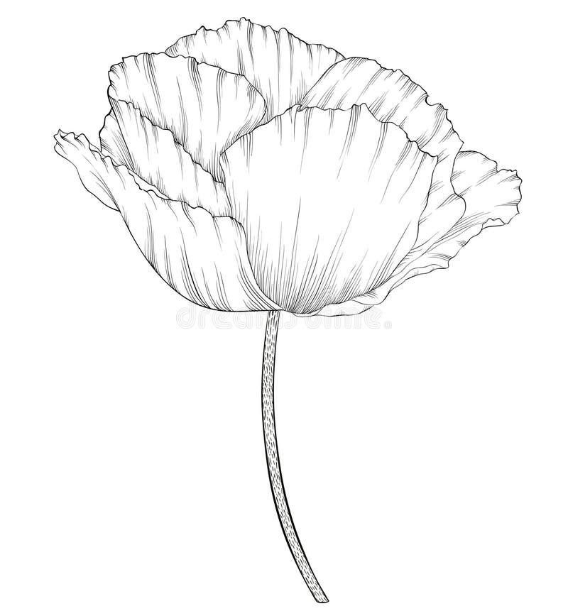 Härlig monokrom svartvit vallmo i endragen grafisk stil i tappningfärger som isoleras på bakgrund vektor illustrationer