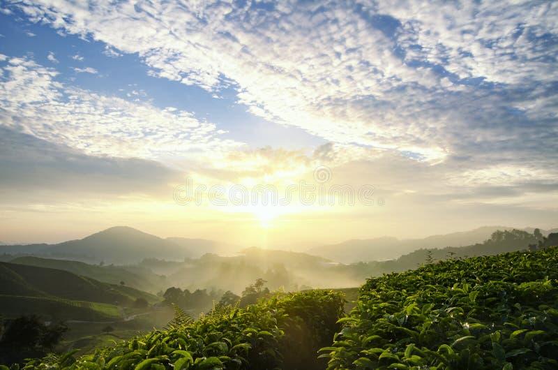 Härlig morgon landskap för tekoloni över soluppgångbackgroun royaltyfria bilder