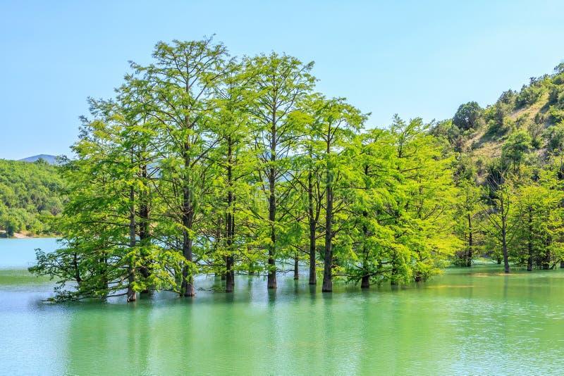 Härlig mycket liten dunge av träskcypressträd som växer i Sukko sjövatten Sceniskt landskap f?r bl? himmel f?r sommar Sukko Anapa royaltyfri bild
