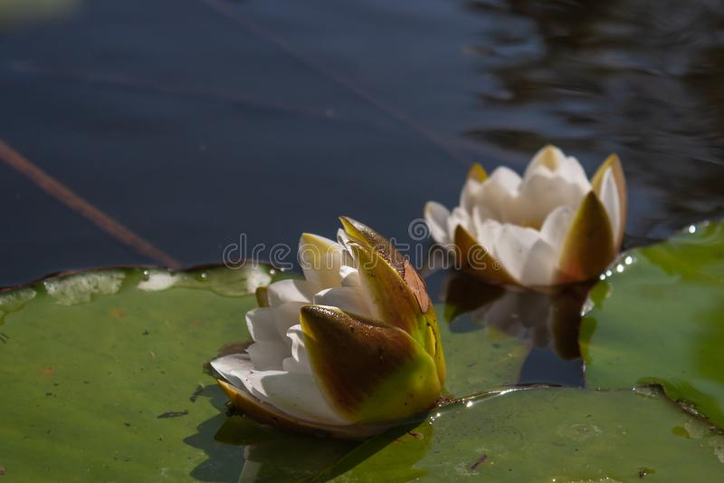 Härlig näckros för vit blomma royaltyfri bild
