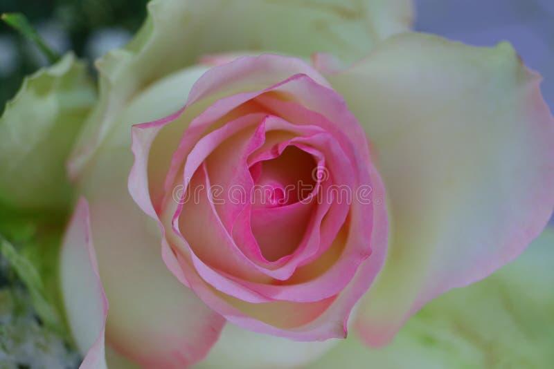 Härlig närbild av en enkel rosa blomma i blom royaltyfria foton