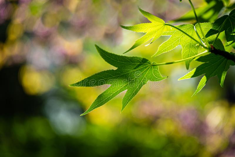 Härlig närbild av ljust - den gröna sidaLiquidambarstyracifluaen, bärnstensfärgat träd, kallade den Amerikan sweetgumen mot solen royaltyfri foto