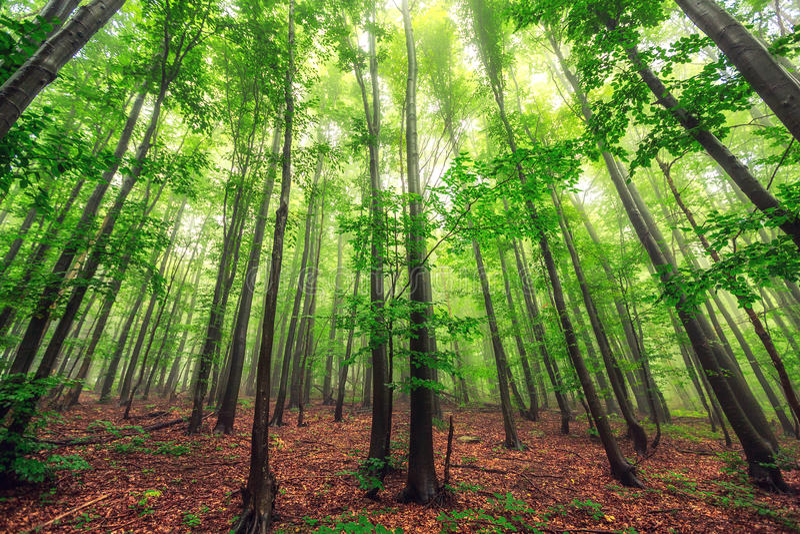 Härlig natur på morgonen i den dimmiga vårskogen med solen arkivbild
