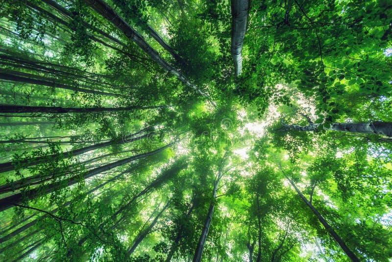 Härlig natur på morgonen i den dimmiga vårskogen med solen fotografering för bildbyråer