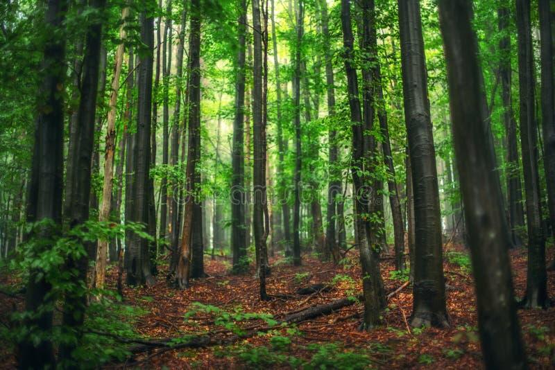 Härlig natur på morgonen i den dimmiga vårskogen med solen royaltyfria bilder