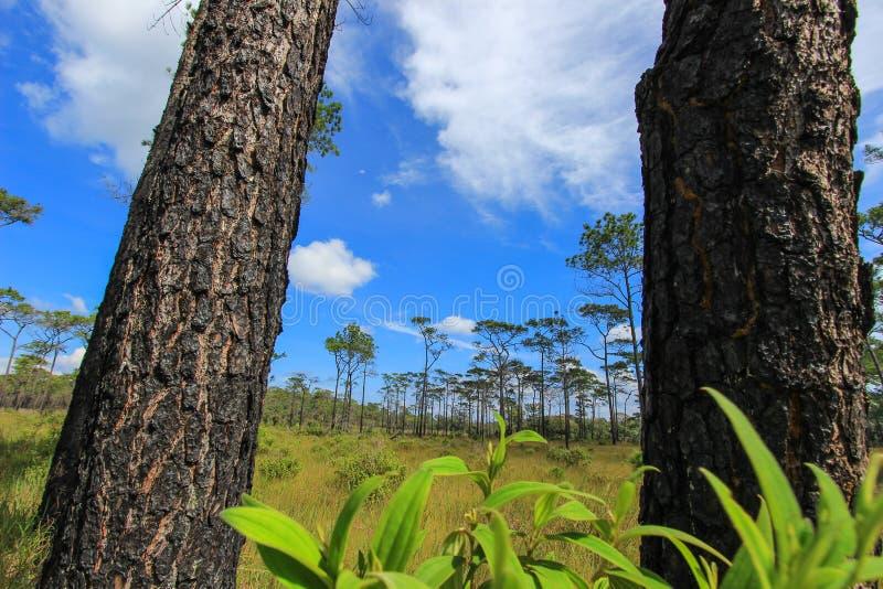 Härlig natur på Non sonblommafältet (Tung Salaeng Luang Nation Park) fotografering för bildbyråer