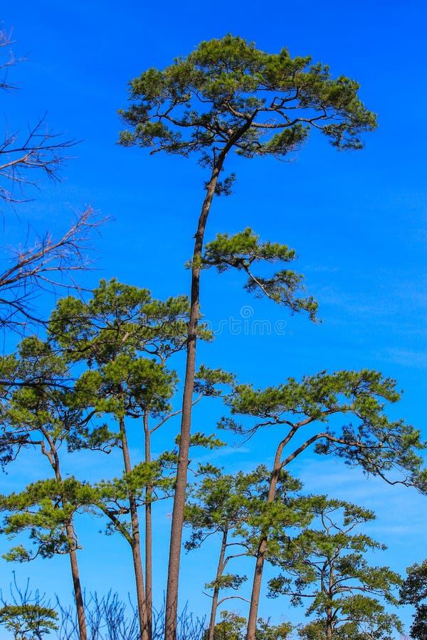 Härlig natur på Non sonblommafältet (Tung Salaeng Luang Nation Park) arkivbilder