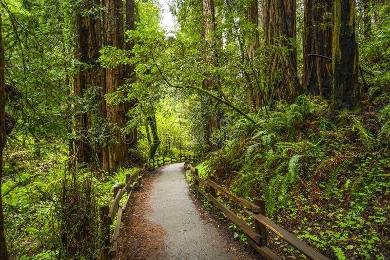 Härlig natur - redwoodträdskogen - träd för rött cederträ arkivbild