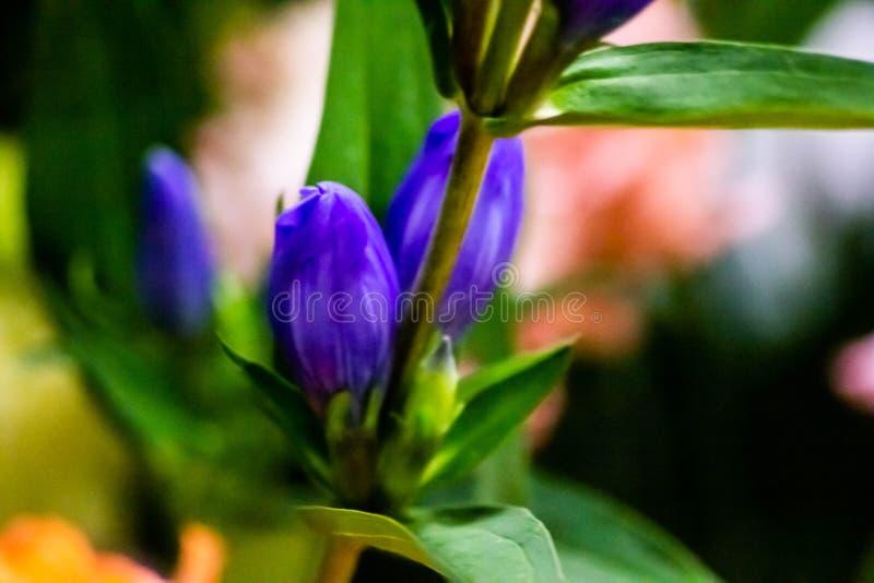 Härlig naturalistisk bakgrund med delen av den blåa blomman med sidor kontrasten av de två färgerna gör bilden sagolik fotografering för bildbyråer