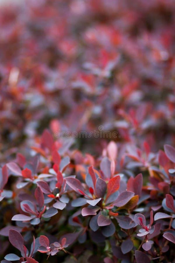 Härlig naturlig bakgrund av inflorescences av röda kronblad med droppar av dagg royaltyfria bilder