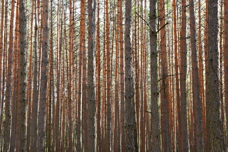 Härlig naturlig skogbakgrund Barrträd på en härlig solig dag Avkoppling i natur fotografering för bildbyråer