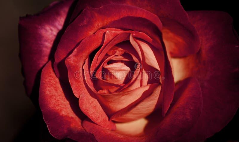 Härlig ny röd rosa tappningstil för Closeup arkivfoto