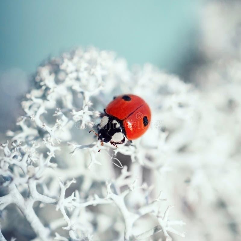 Härlig nyckelpiga på det vita mossaslutet upp Nyckelpiga på en blå bakgrund på en solig dag, makro Röd skalbagge med två svarta p royaltyfri foto