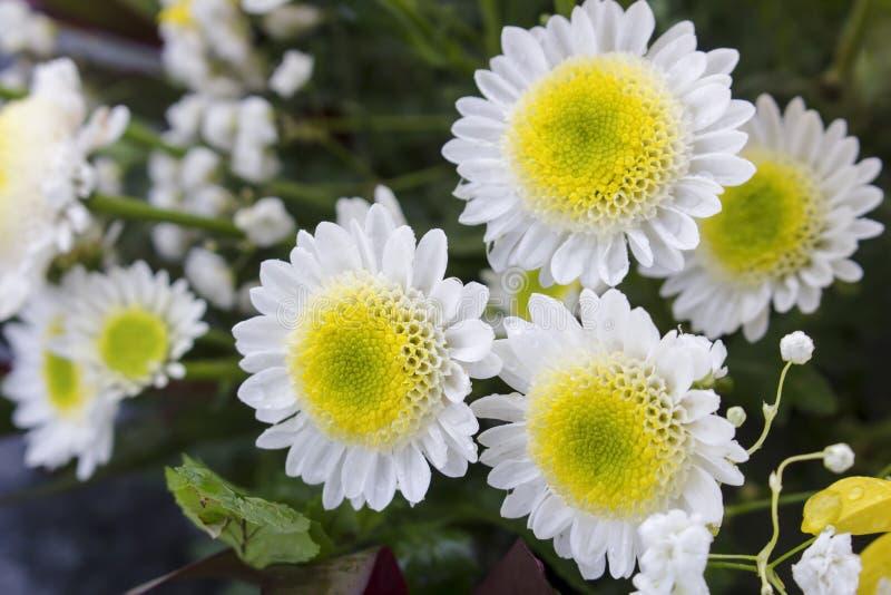 Härlig oavkortad blom för gula och vita krysantemumblommor Kallade ocks? mor eller chrysanths oskarp bakgrund arkivfoto