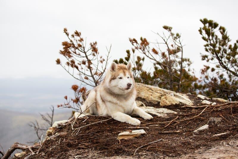 Härlig och lycklig beige och vit Siberian skrovlig hund som ligger på berget En hund p? en naturlig bakgrund arkivfoto