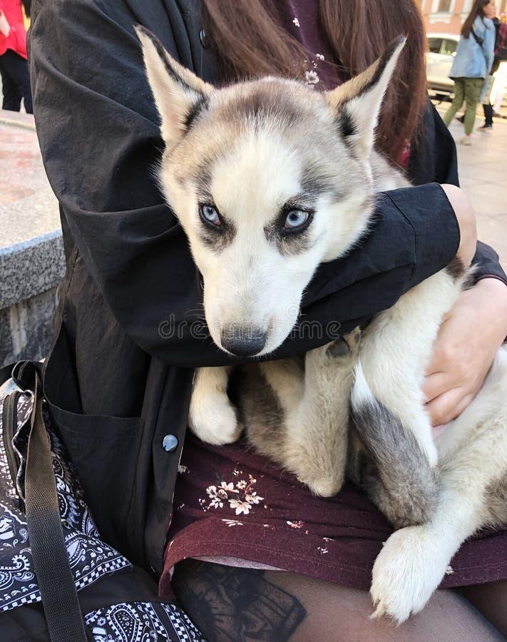 Härlig och rolig skrovlig hund med blåa ögon royaltyfri bild