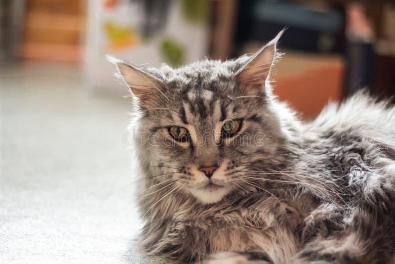 Härlig och viktig Maine Coon katt som ligger på golvet royaltyfri bild