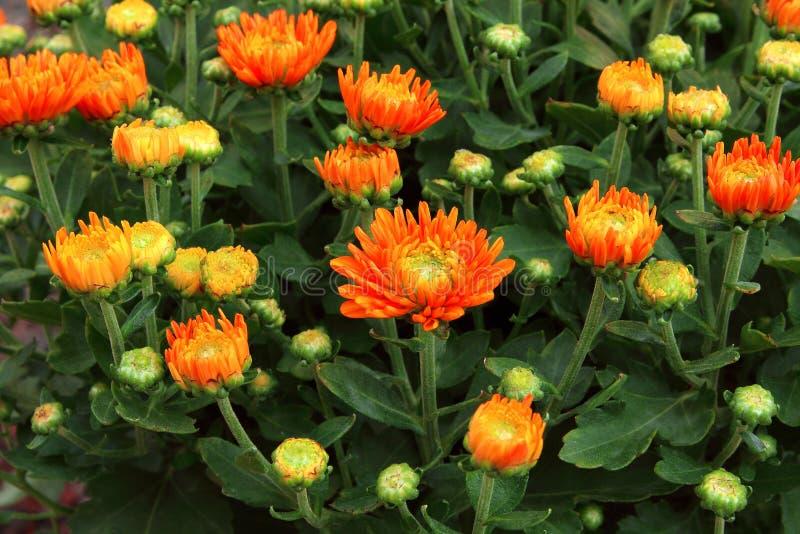 Härlig orange färgmaskros i blommaträdgården, bakgrund av blommaknoppen och blomma arkivbild