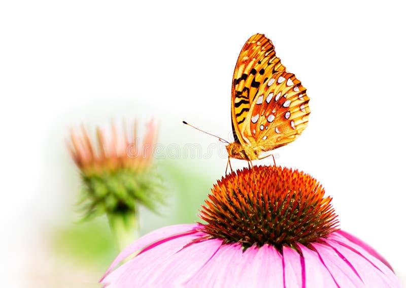 Härlig orange fjäril på den rosa blomman på vit arkivfoton