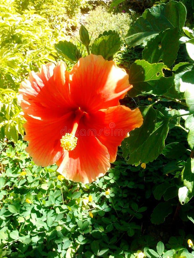 härlig orange kajennpeppar för blommaträdgård royaltyfria bilder
