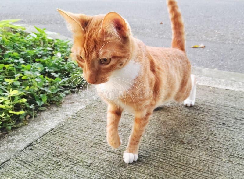 Härlig orange katt som är klar att anfalla, i handling, banhoppning och att stirra royaltyfria foton