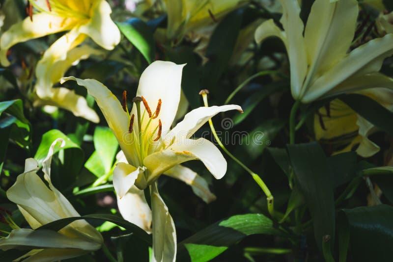 Härlig orange liljablomma i botanisk trädgård arkivbild