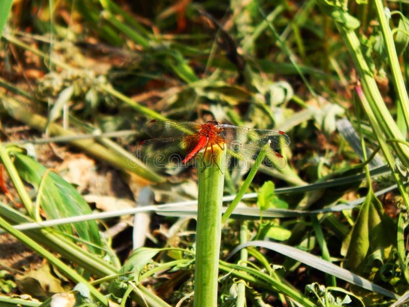Härlig orange slända i gräset arkivbild