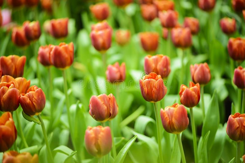 Härlig orange tulpanblomma i trädgård arkivfoto