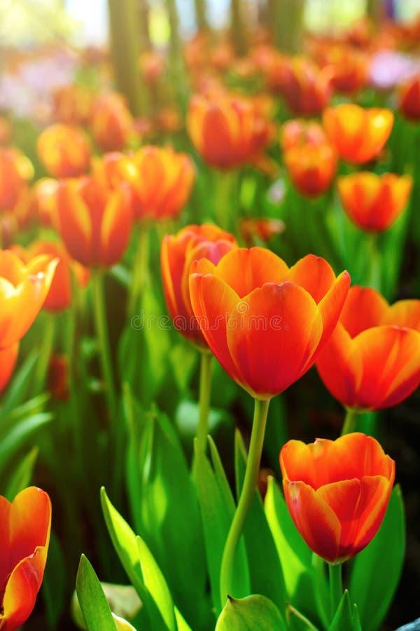 Härlig orange tulpanblomma i trädgården royaltyfria foton
