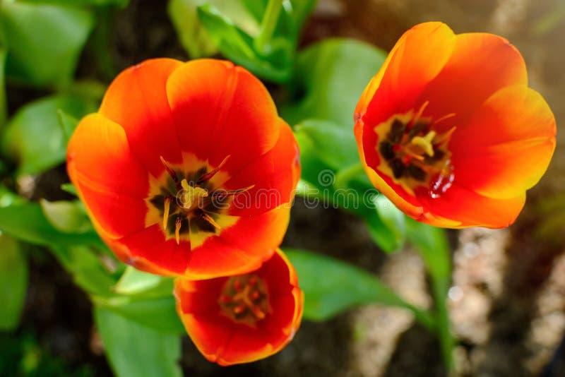 Härlig orange tulpanblomma i trädgården royaltyfria bilder