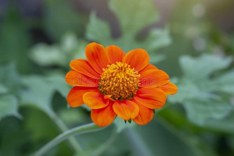 Härlig orange zinniablommablom med solljus i trädgården på naturbakgrund royaltyfri bild