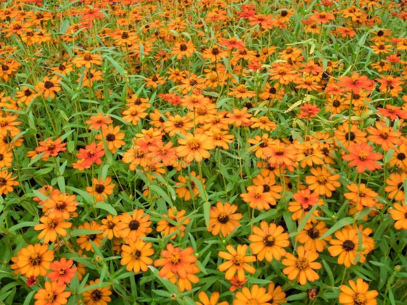 Härlig orange Zinniablommaträdgård, fruktträdgård arkivbild