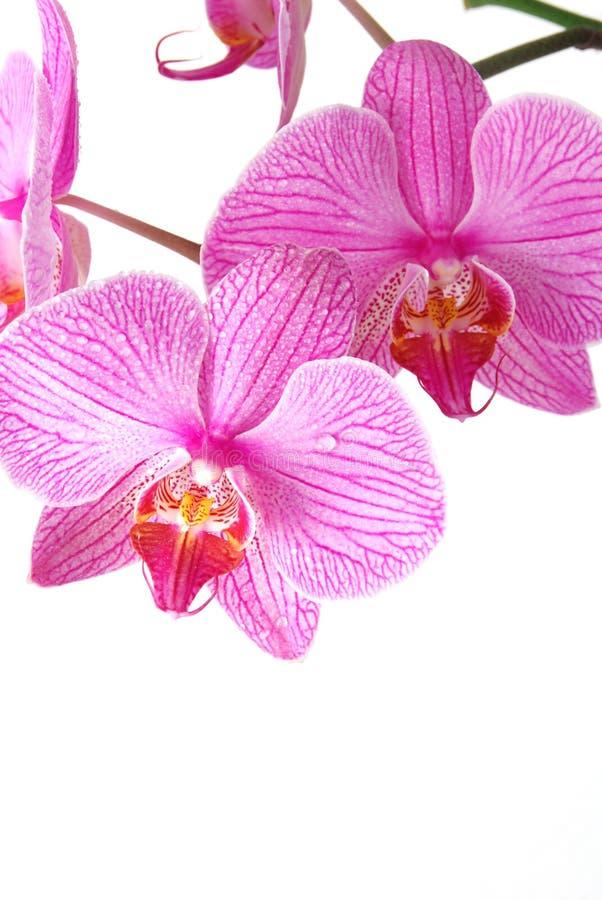 härlig orchid arkivfoto